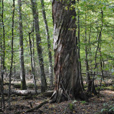 Stara sosna bartna w Rezerwacie Ścisłym Białowieskiego Parku Narodowego. Fot. P. Piłasiewicz