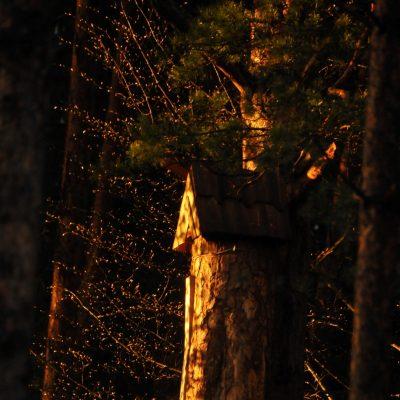 Kłoda bartna o zachodzie słońca. Fot. P. Piłasiewicz