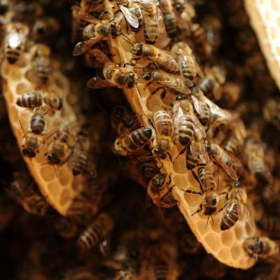 pszczoły z bliska