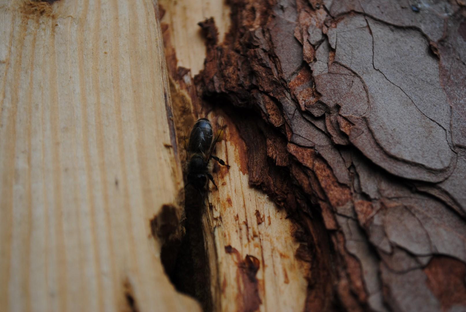 Pszczoła środkowo europejska lini Augustowskiej. Fot. P. Piłasiewicz